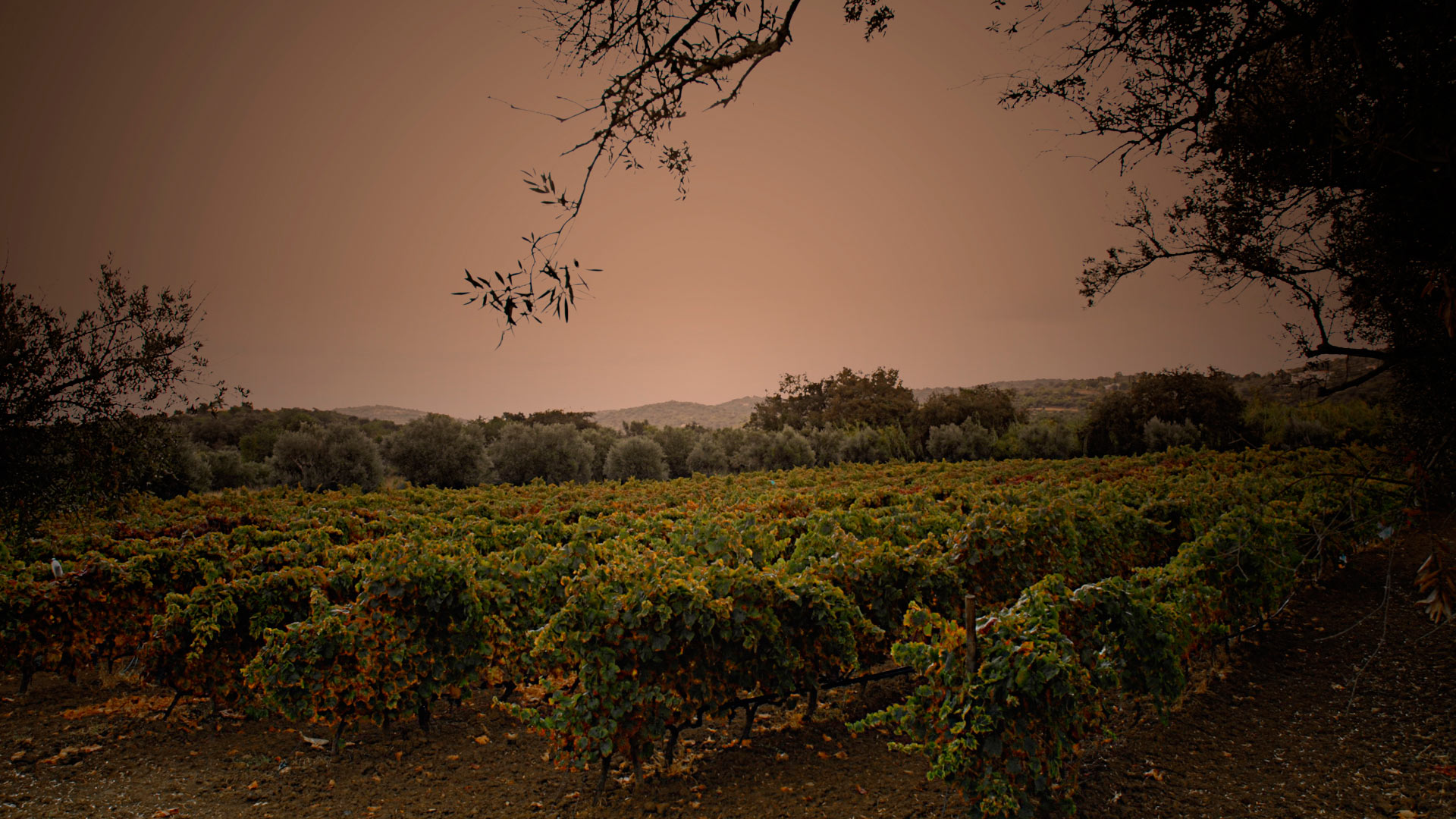 vineyard of Monte da Ribeira